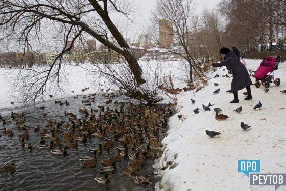 Сотни уток облюбовали полынью в парке «Фабричный пруд» в Реутове. В их числе есть даже бывшие обитатели Московского зоопарка — огари. ПроРеутов
